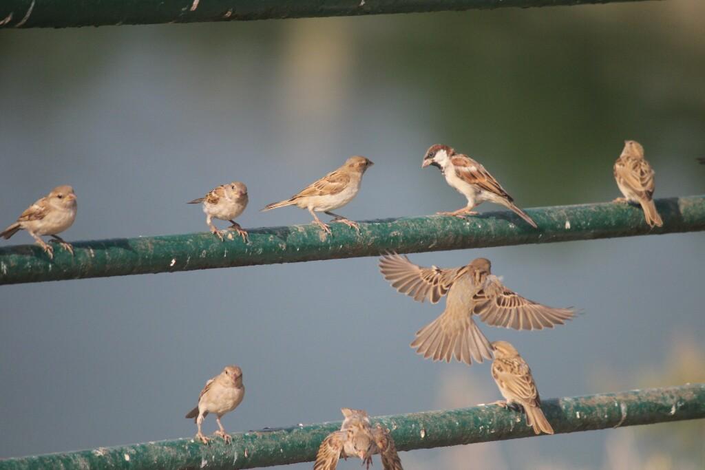 Chaki Ben The Sparrow