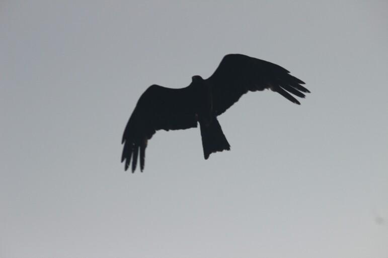 દેશી સમડી |  काली चील | Black Kite
