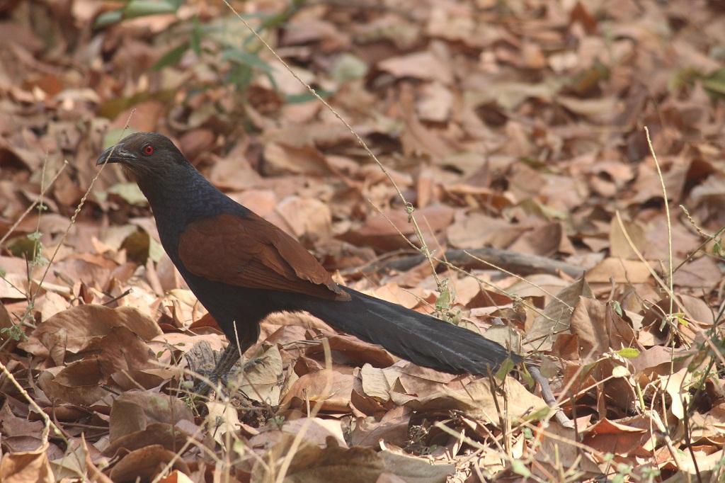 કુકડિયો કુંભાર  |  महोख  |  Greater Coucal/Crow Pheasant