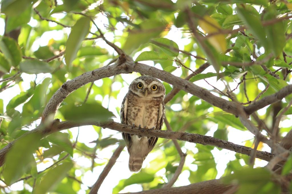 ચીબરી | चित्तीदार उल्लू , छुघड, खूसट | Spotted Owlet